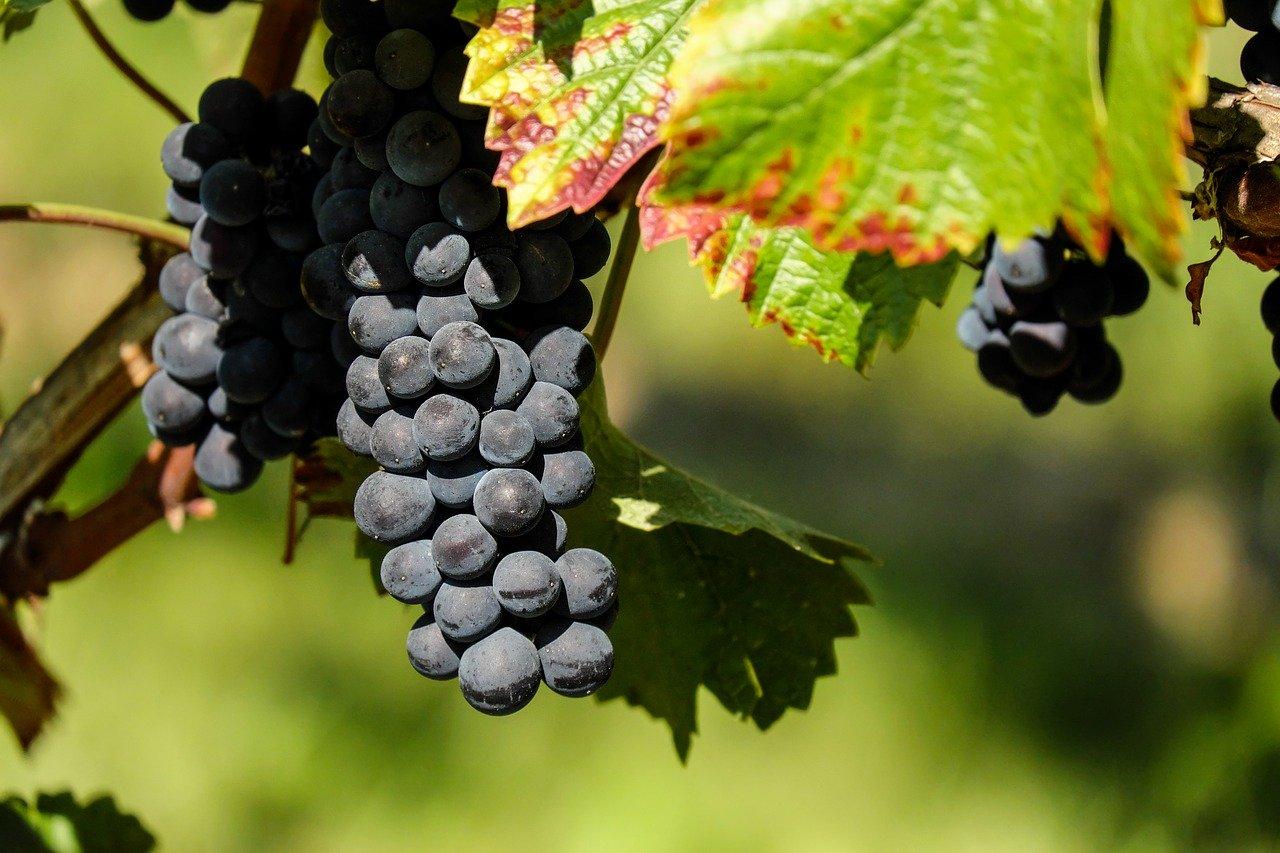 Grippé par le Covid-19, le secteur viticole français craint pour son avenir