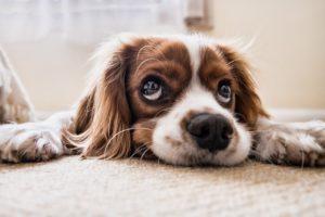 Les races de chiens les plus populaires de 2020